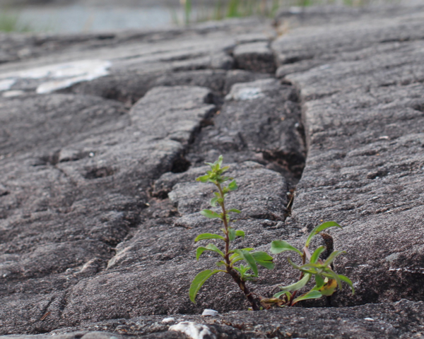 Aufkeimende Pflanze
